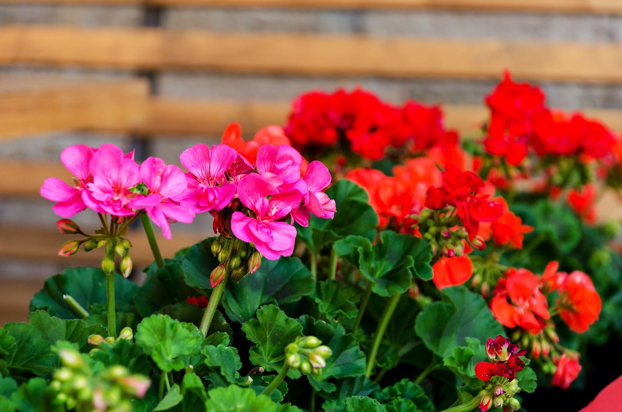 Kambarinė gėlė pelargonija