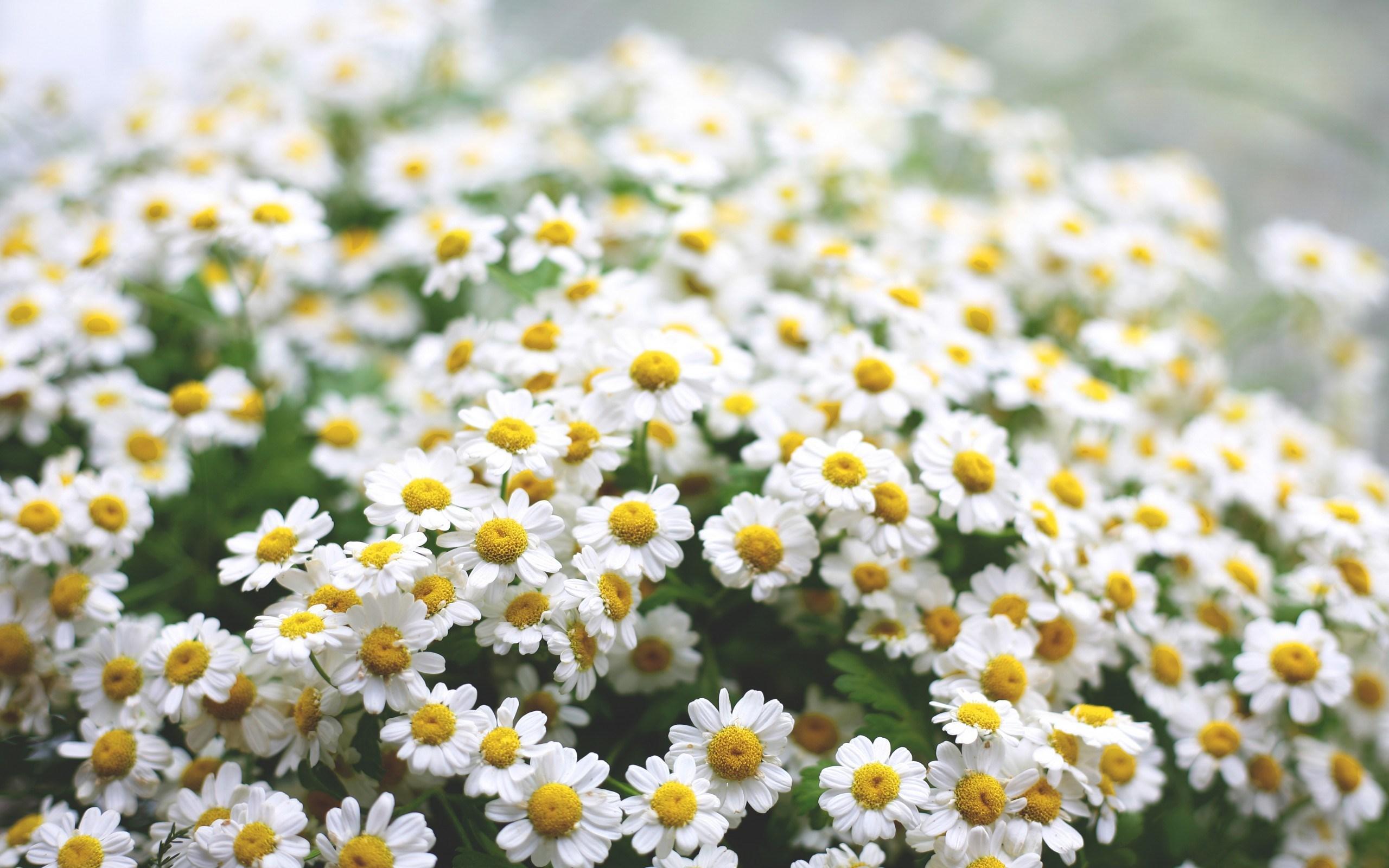Gėlės nuotrauka. (Pavadinimas: Ramunė)