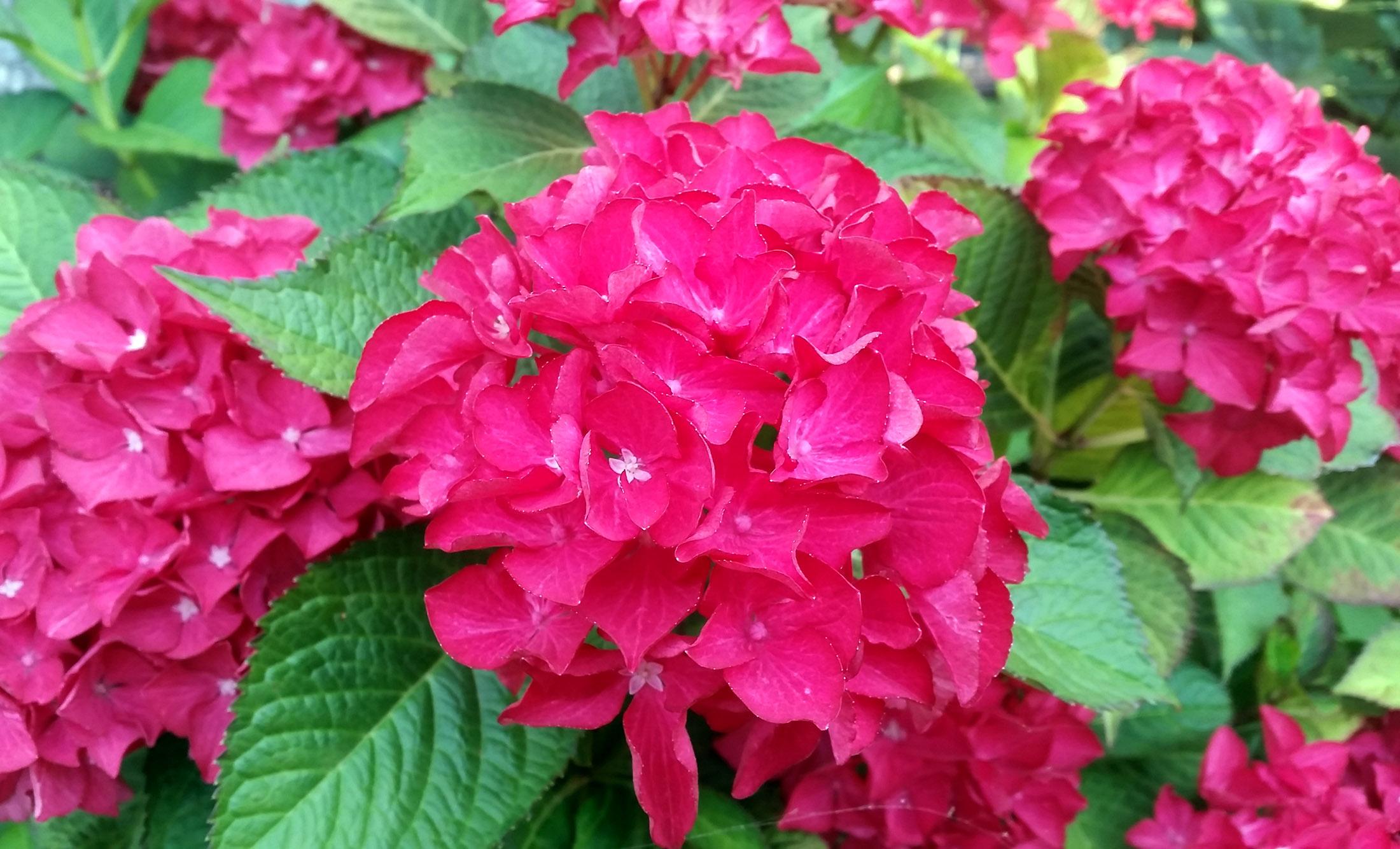 Raudona Hortenzija