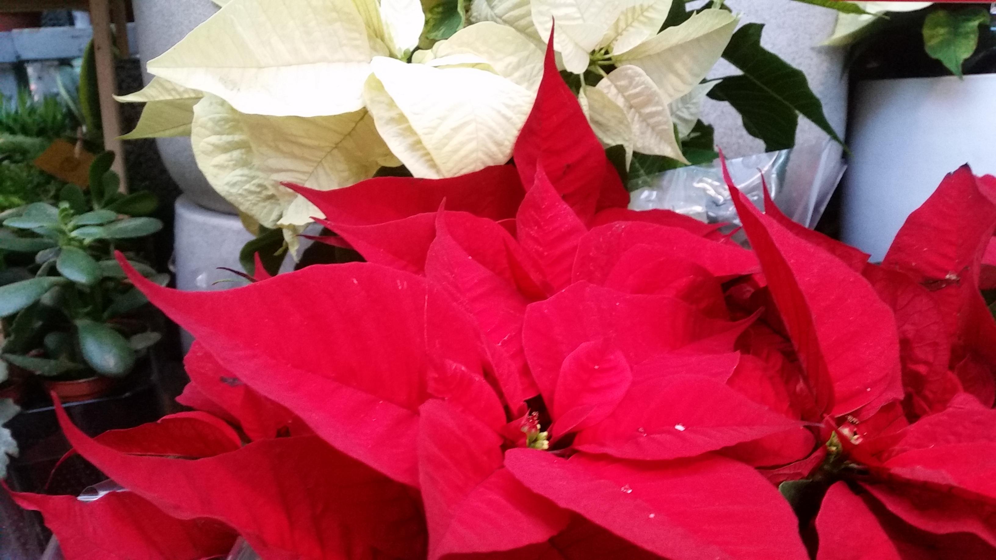 Raudona Puansetija (Kalėdinė gėlė)