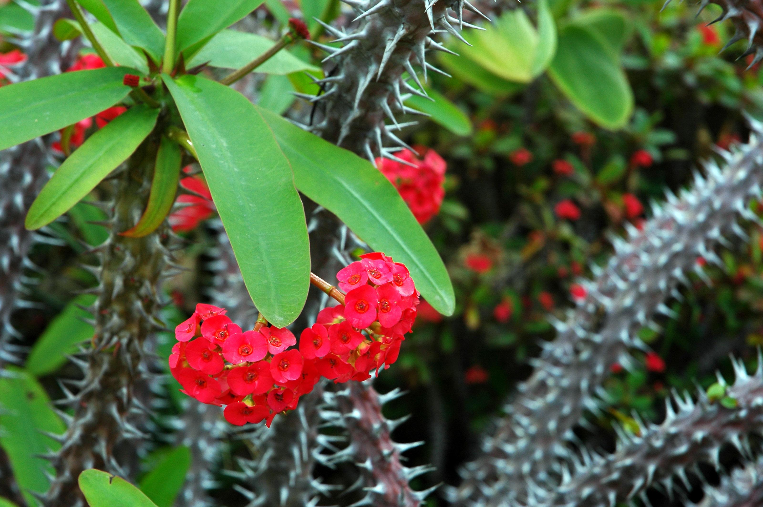 Raudonai žydinti karpažolė
