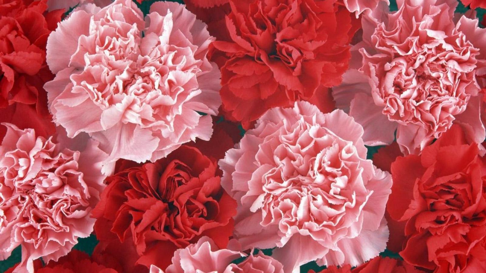 Raudoni ir rožiniai šabo gvazdikai