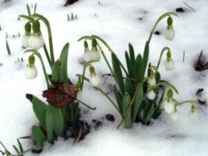 Raukšlėtoji snieguolė