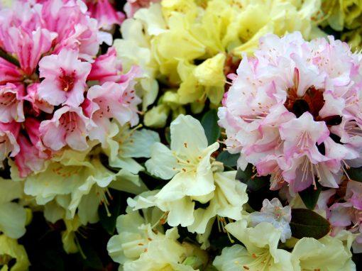 Gėlės nuotrauka. (Pavadinimas: Rododendras)