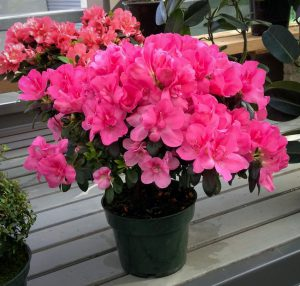 Rododendras vazone