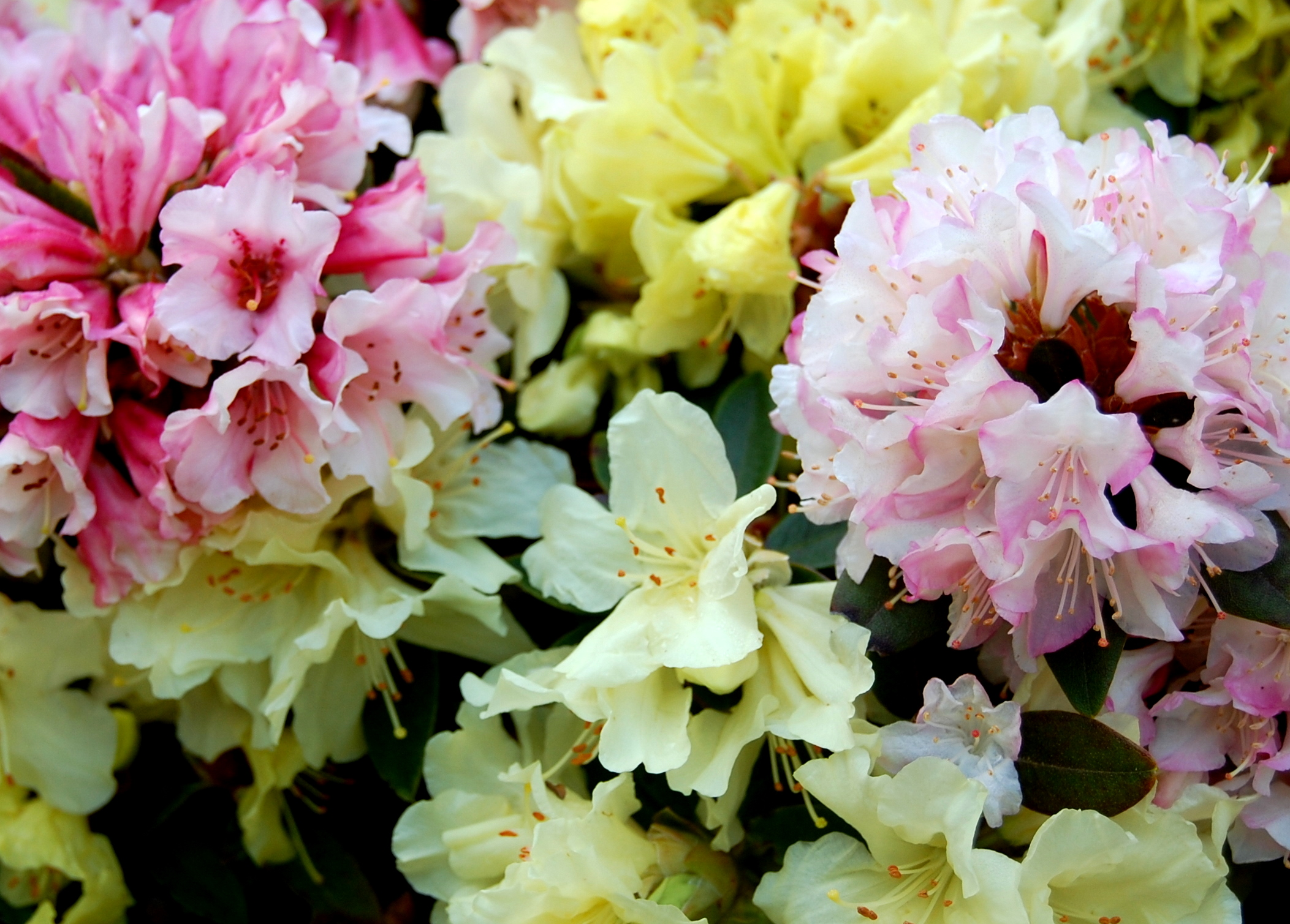 Rododendras (azalija)