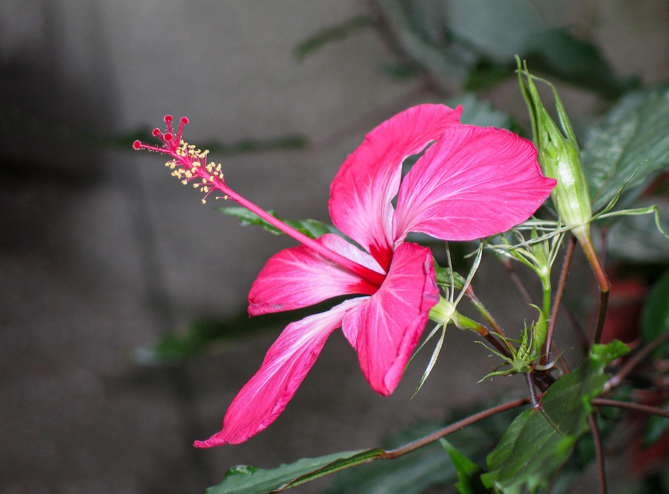 Rožinė kinrožė 'copperi'