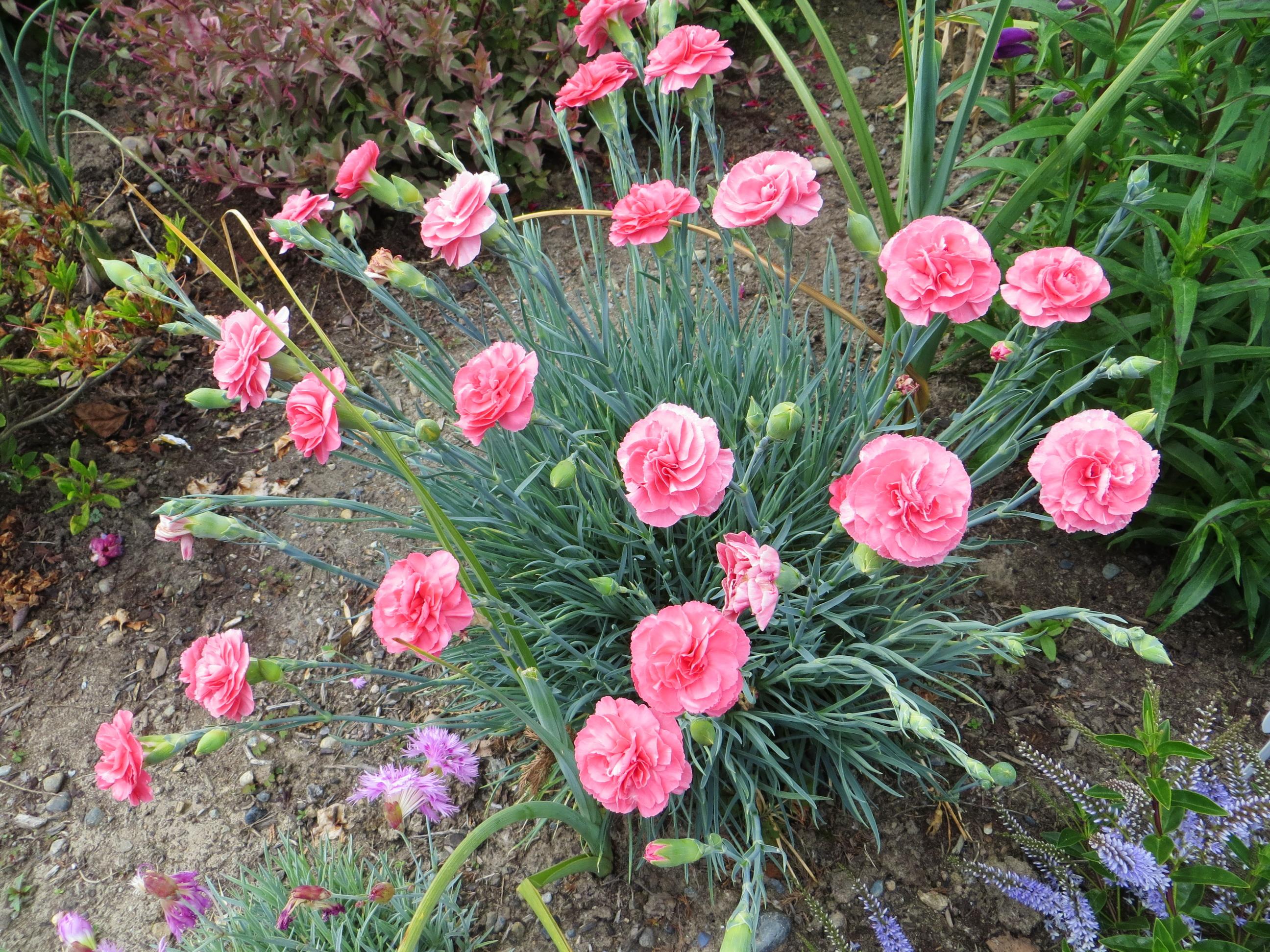 Rožiniai šabo gvazdikai