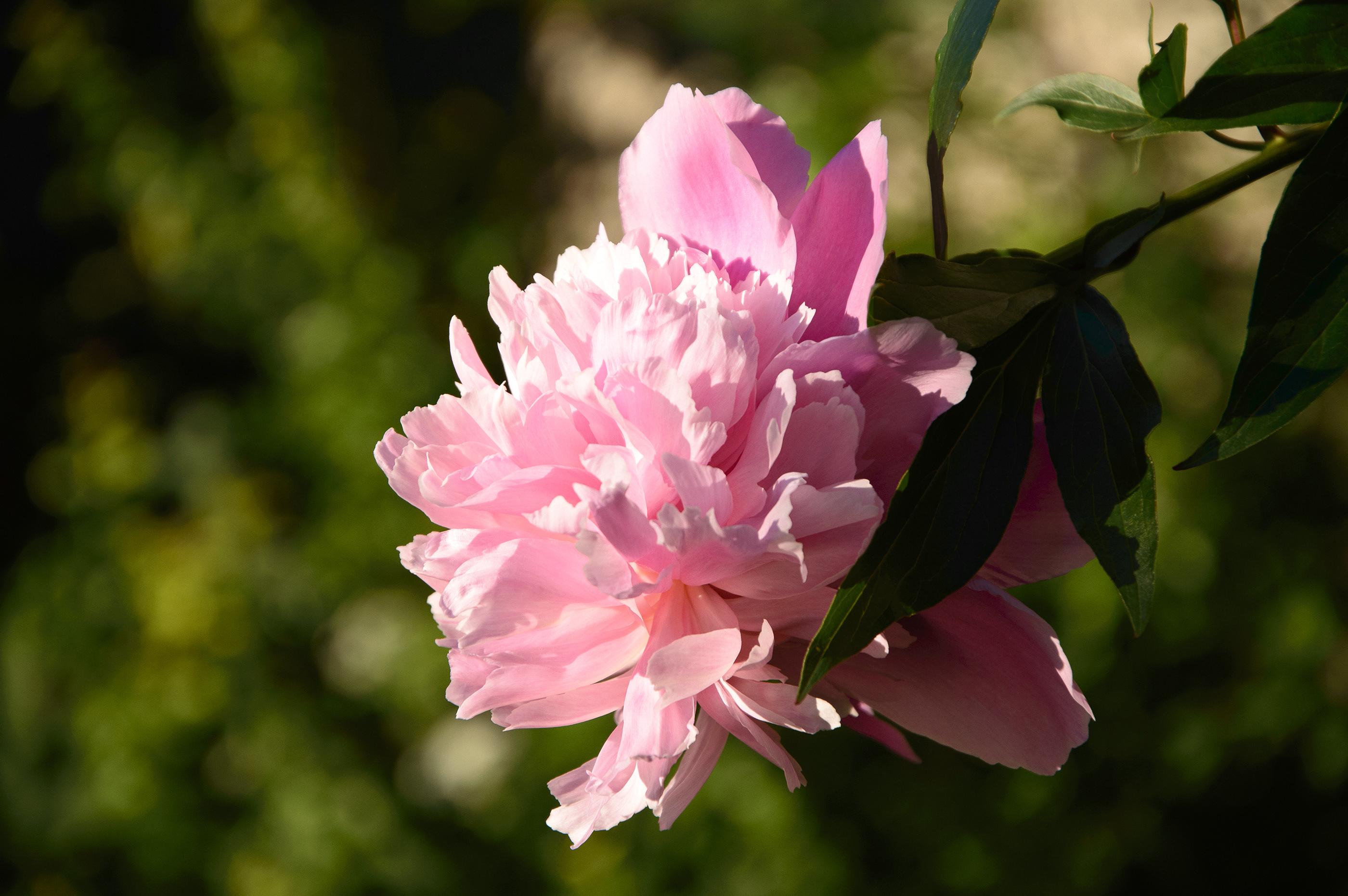 Rožinis bijūnas
