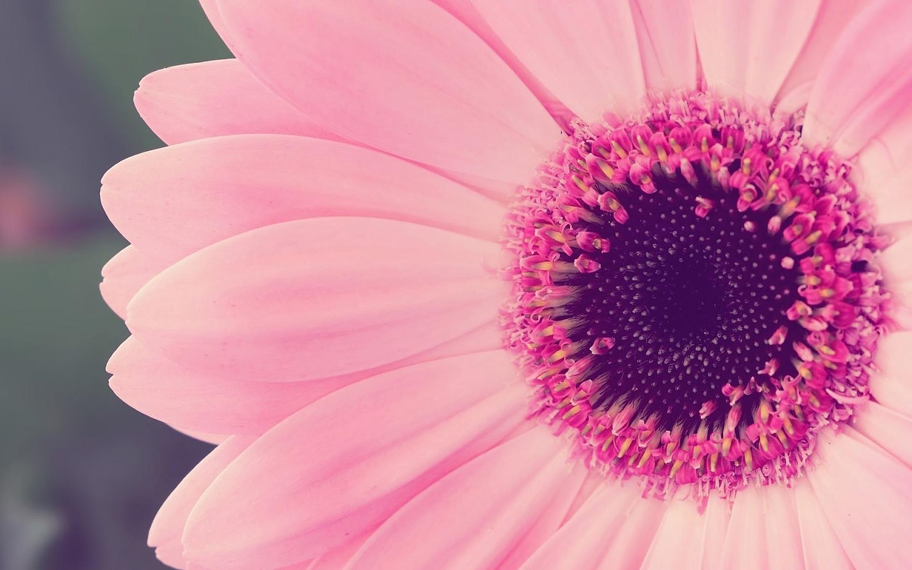Rožinis gerberos žiedas iš arti (macro foto)