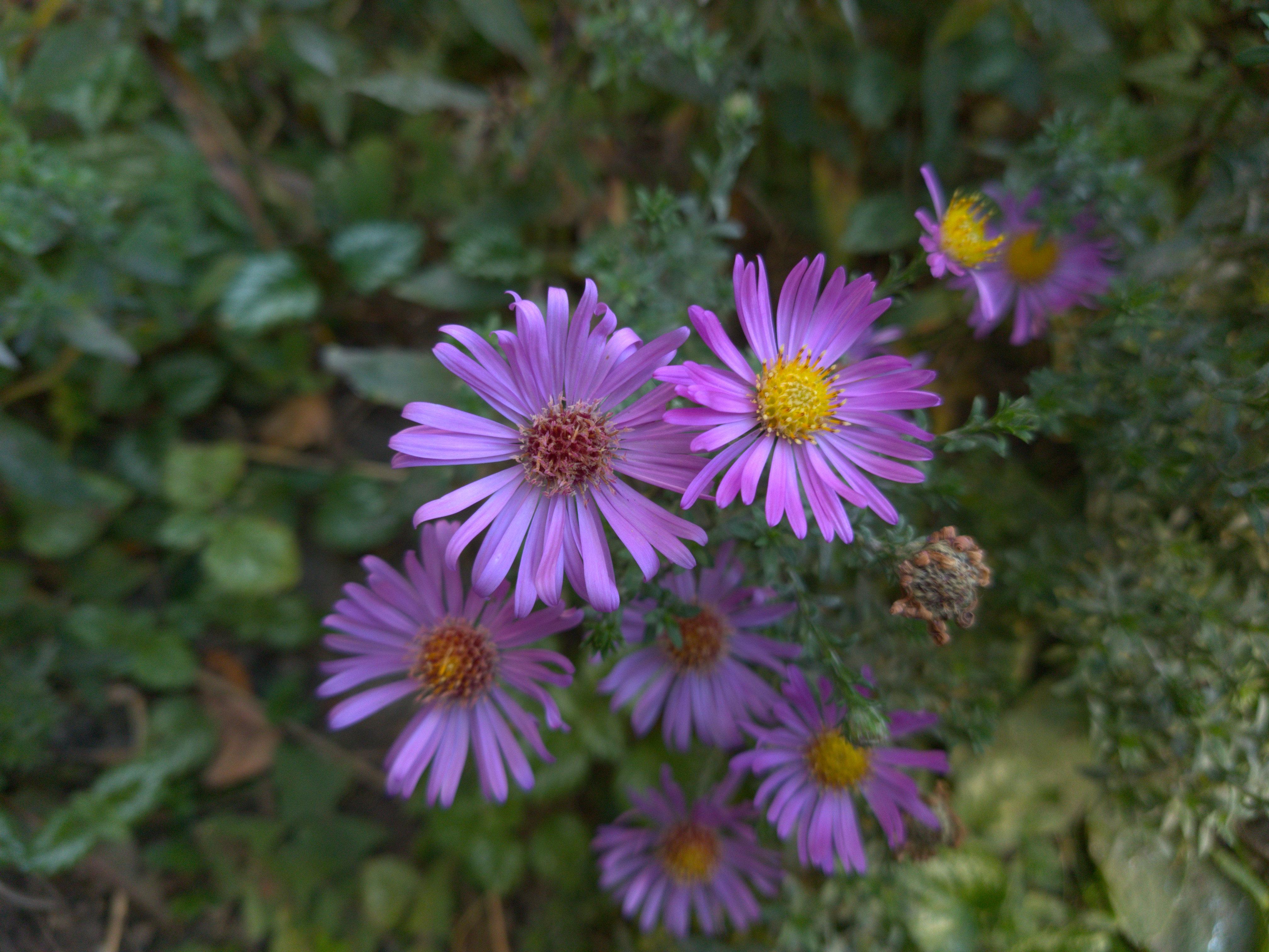 rudenį žydintys astrai