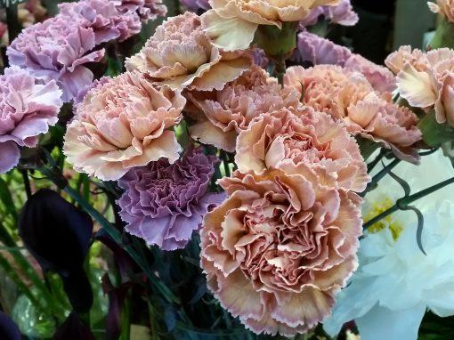 Gėlės nuotrauka. (Pavadinimas: Šabo Gvazdikas)