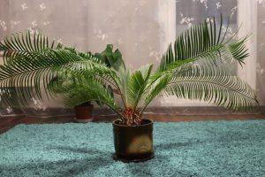 Sago palmė (cikas)