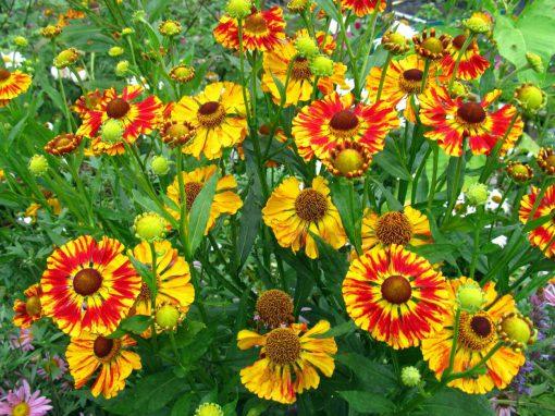 Gėlės nuotrauka. (Pavadinimas: Saulainė)