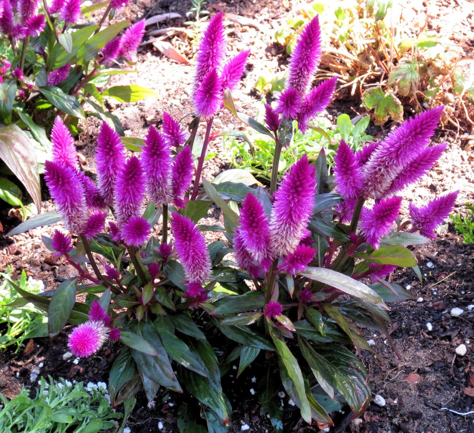 Gėlės nuotrauka. (Pavadinimas: Sidabrinė celiozija)