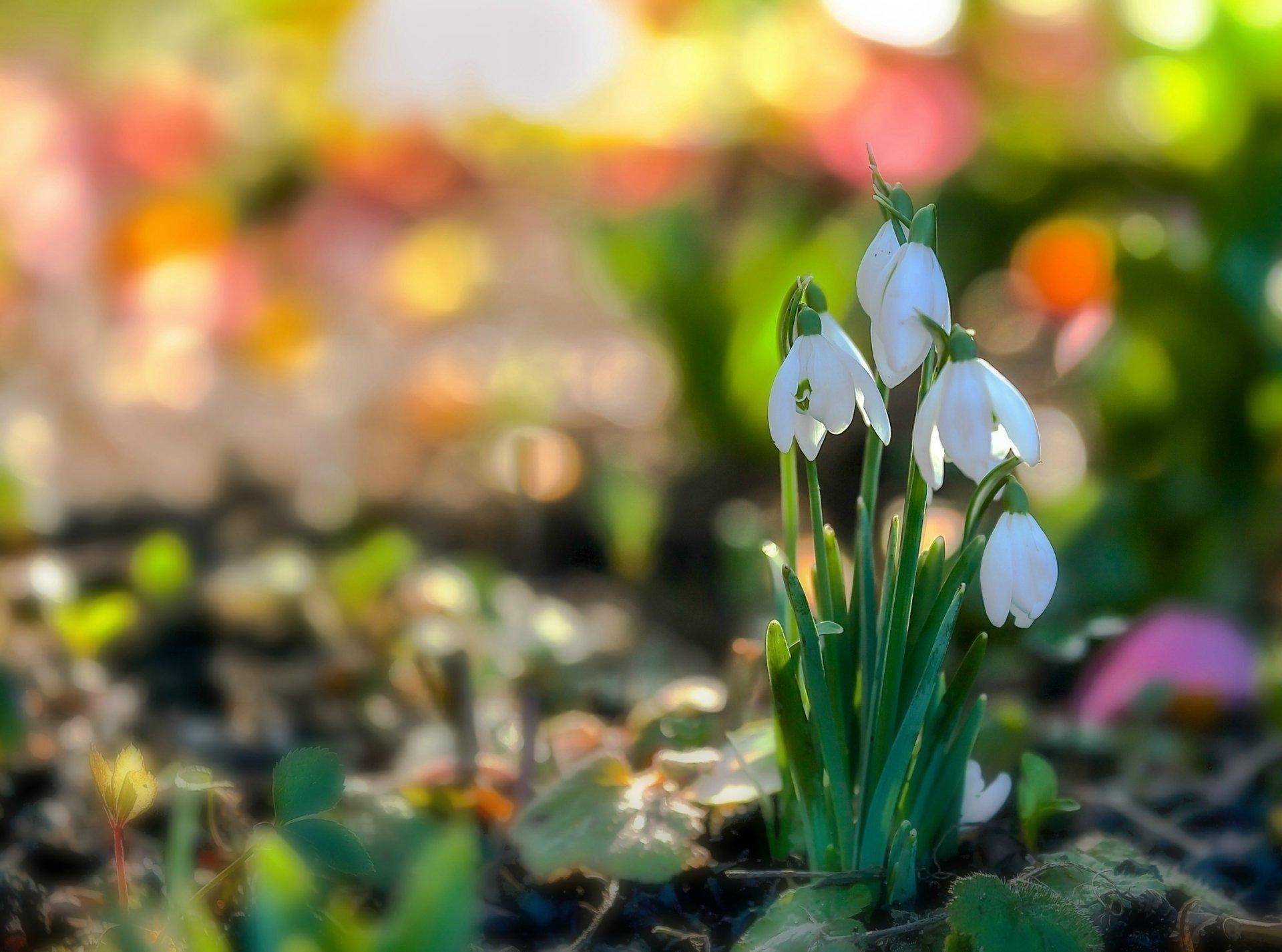Gėlės nuotrauka. (Pavadinimas: Snieguolė)