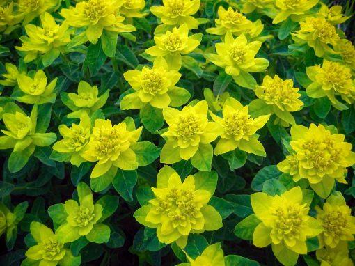 Gėlės nuotrauka. (Pavadinimas: Spalvotoji Karpažolė)