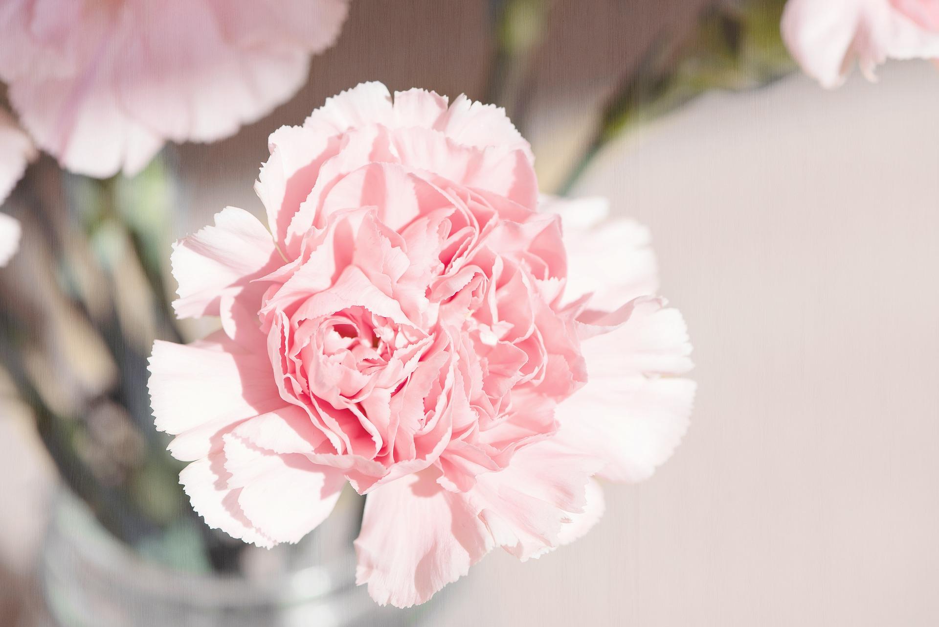 Svelniai rožinio šabo gvazdiko žiedas