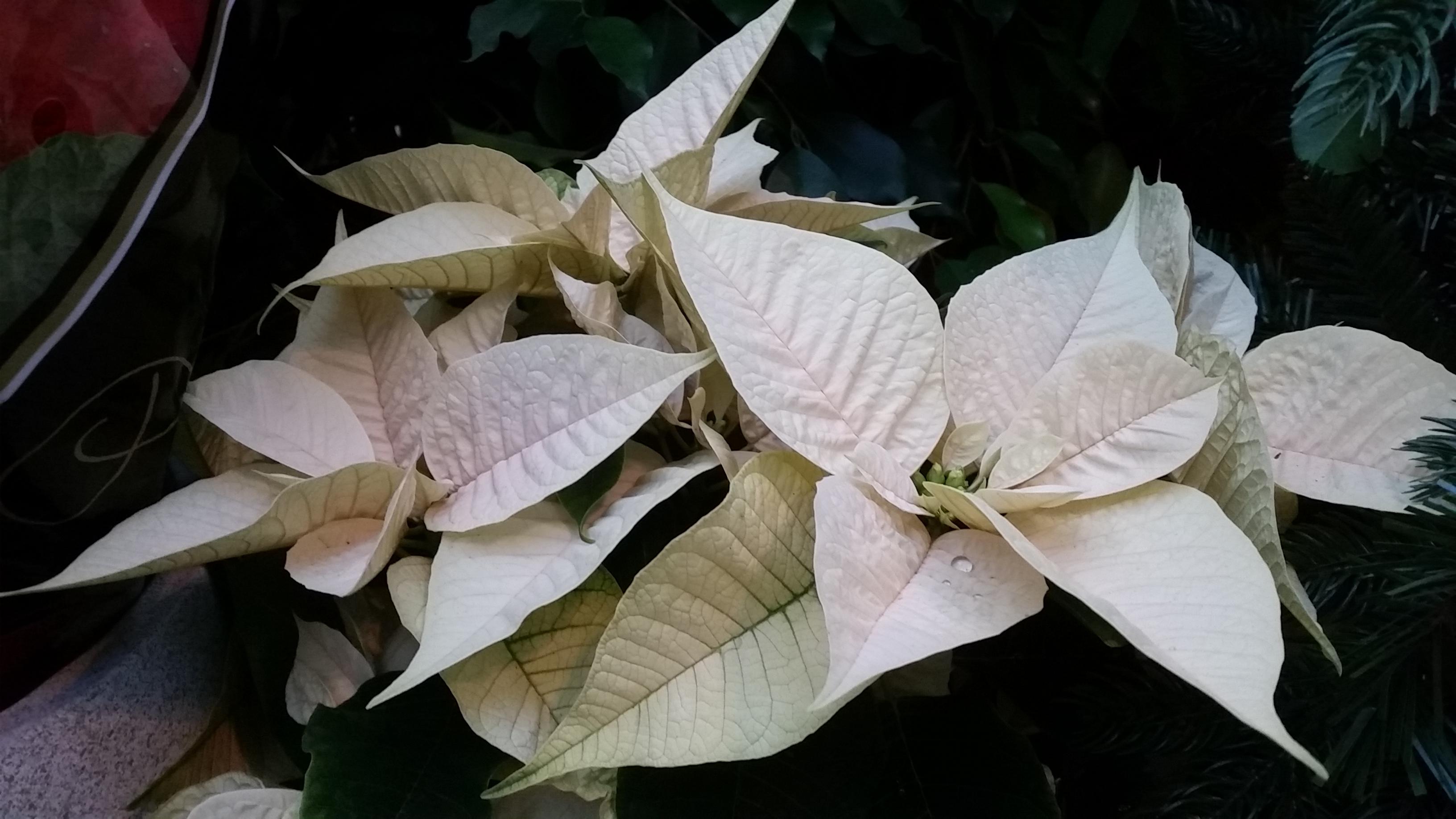 Šviesialapė karpažolė (kalėdų gėlė)