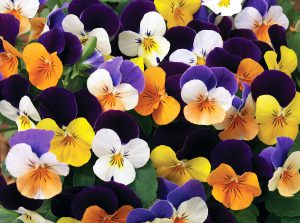 Tiesiaragės našlaitės (Viola cornuta L.)