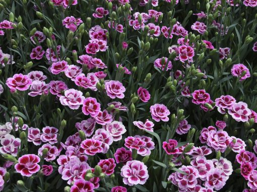 Gėlės nuotrauka. (Pavadinimas: Tikrasis gvazdikas)