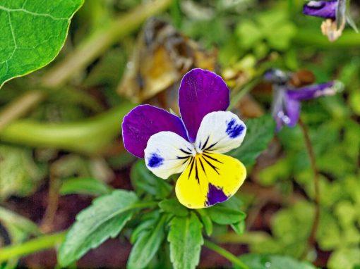 Gėlės nuotrauka. (Pavadinimas: Trispalvė našlaitė)