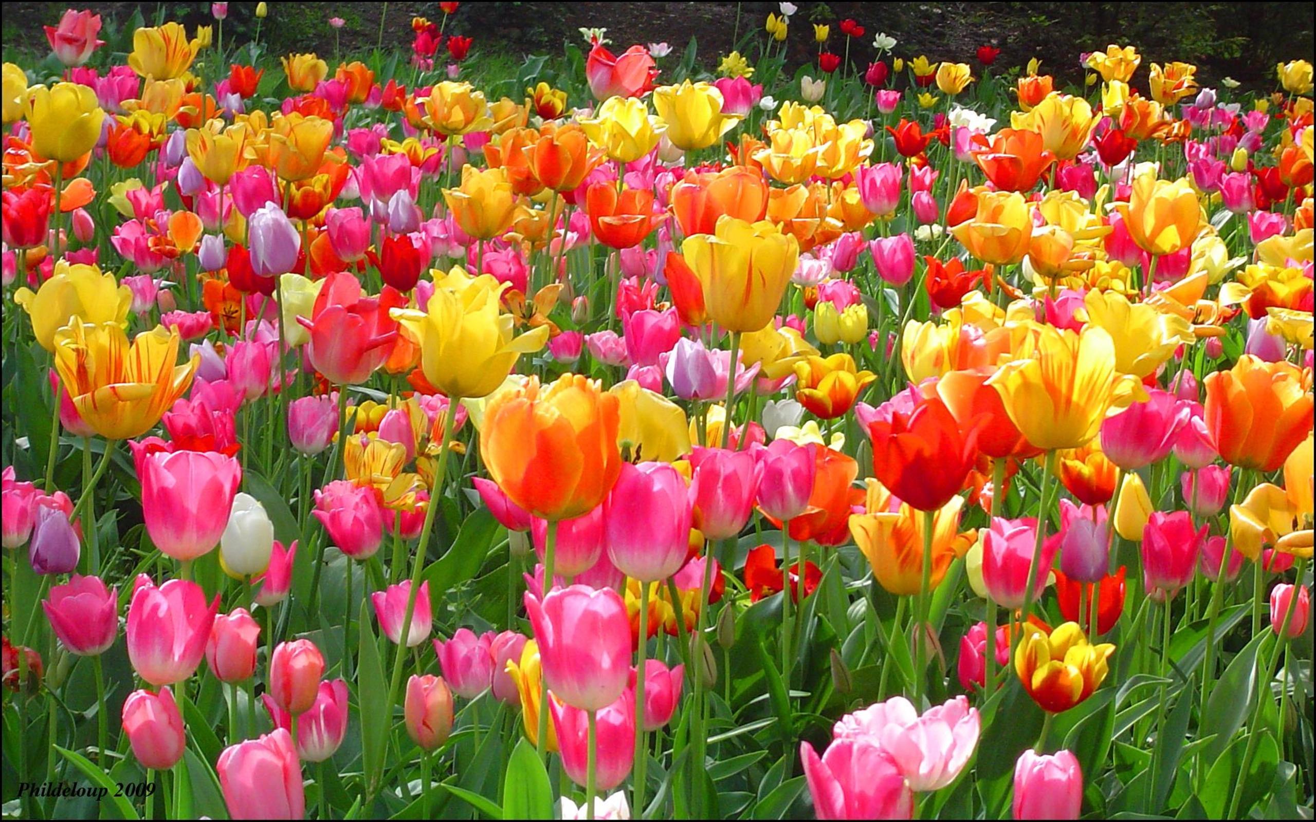 Tulpių rūšys