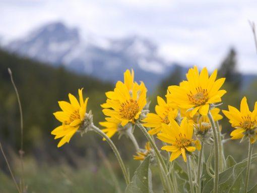 Gėlės nuotrauka. (Pavadinimas: Kalninė arnika)