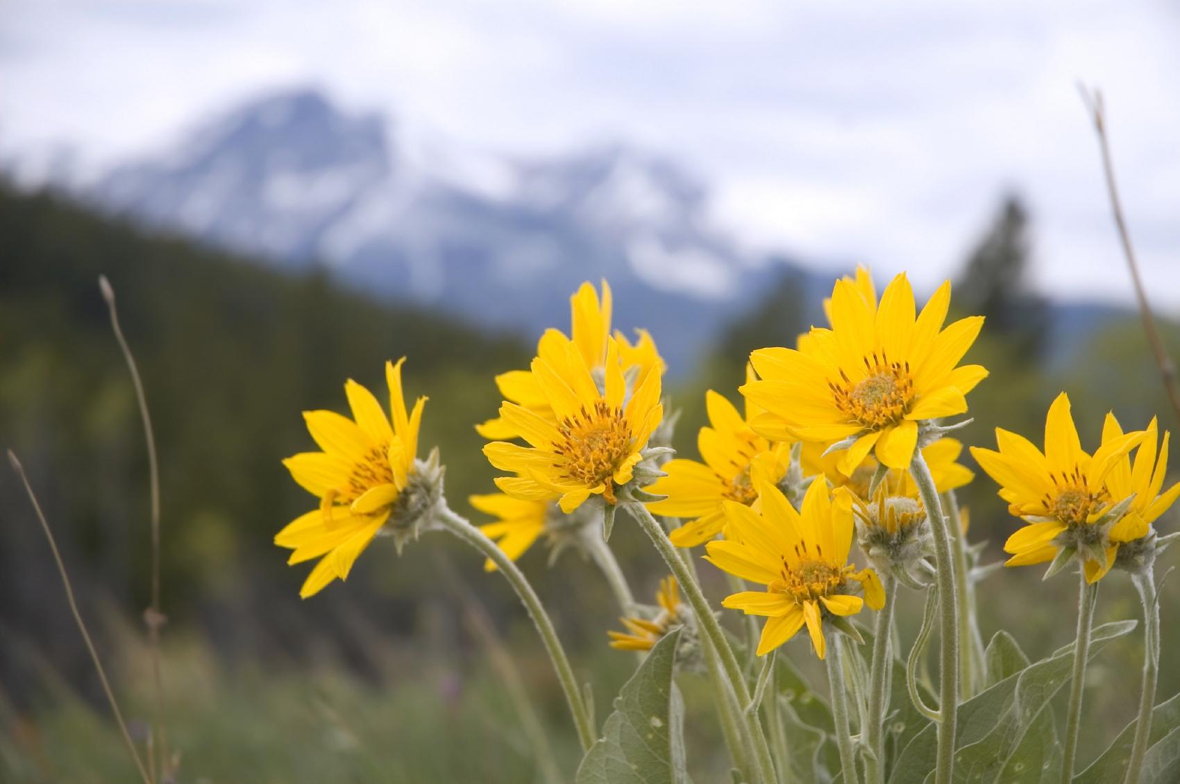 Gėlė Arnika (Arnica Montana)