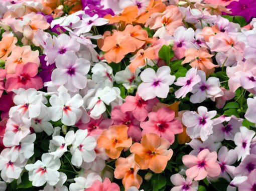 Gėlės nuotrauka. (Pavadinimas: Valerio sprigė)