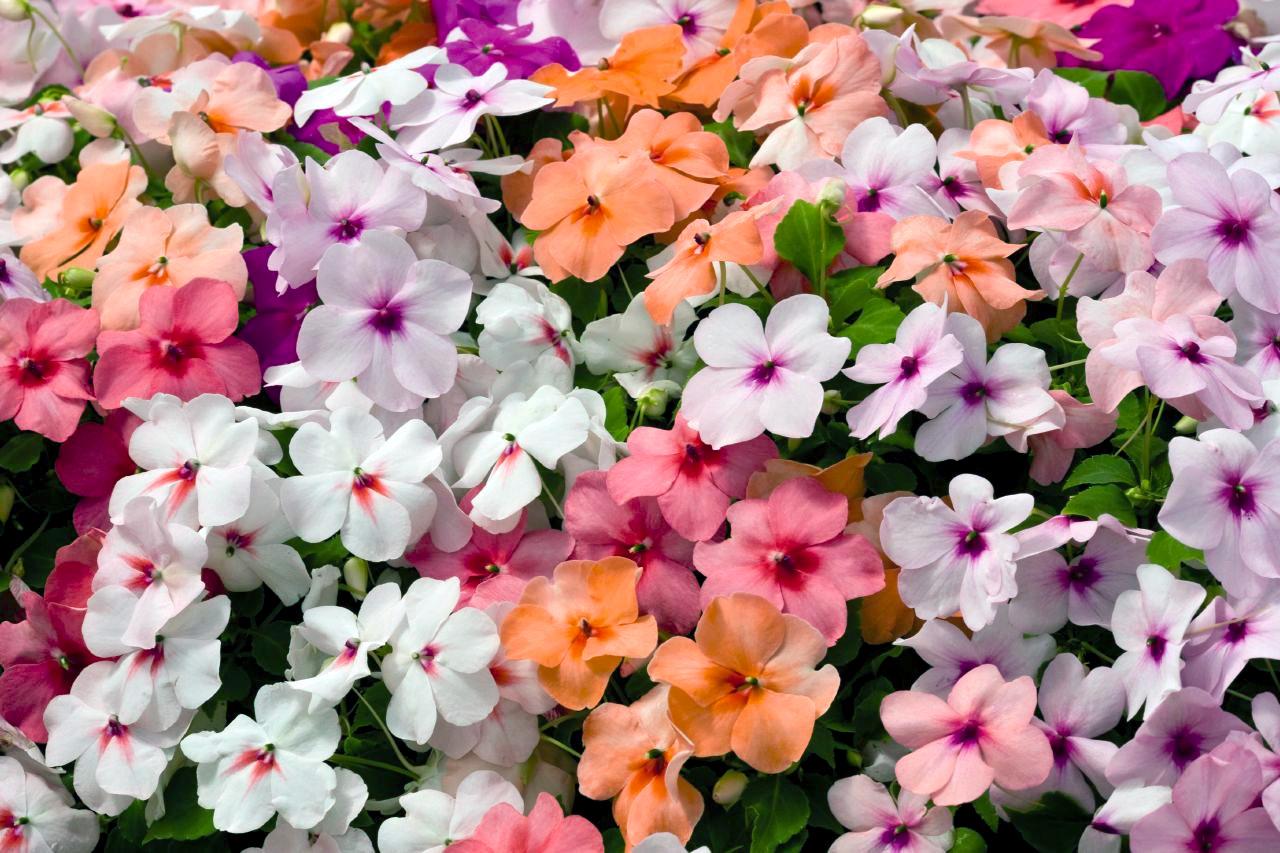 Gėlė Valerio sprigė
