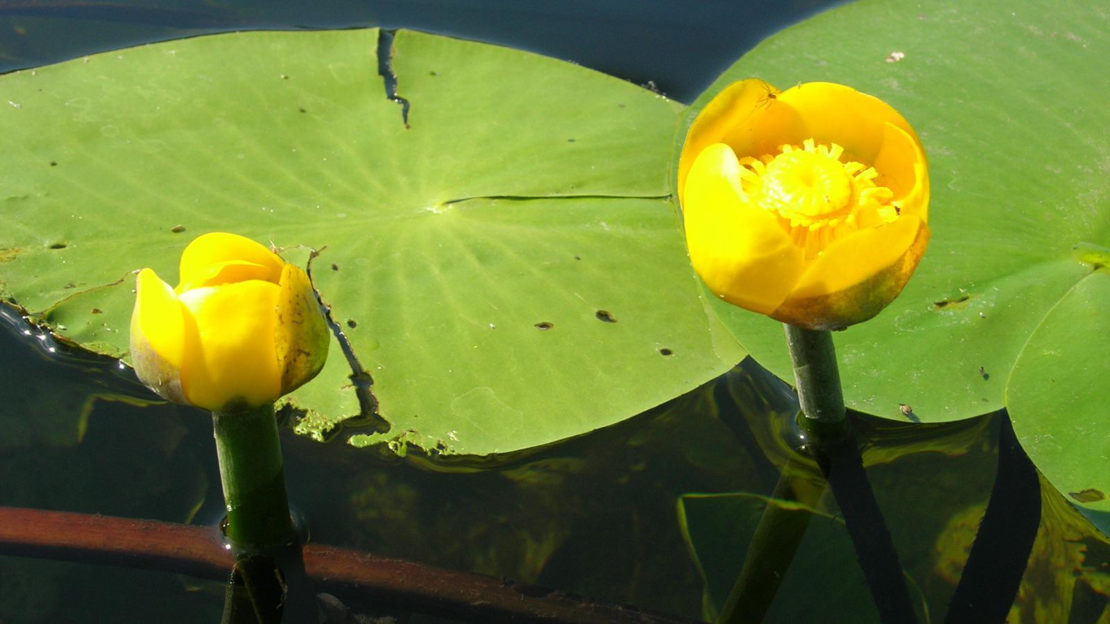Gėlė Lūgnė