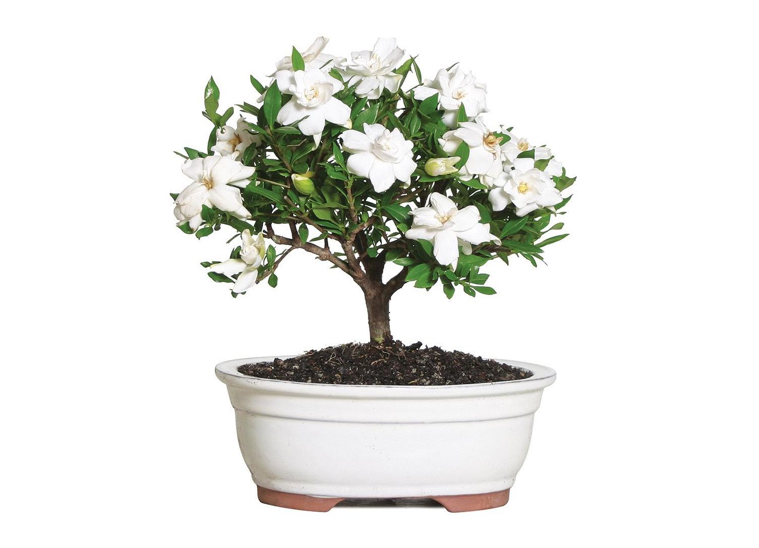 Gėlė Gardenija