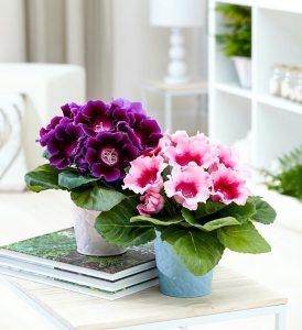 Vazoninės gėlės gloksinija
