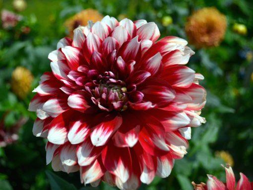 Gėlės nuotrauka. (Pavadinimas: Jurginas)