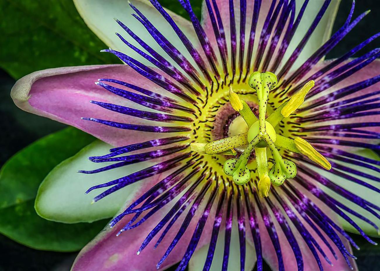 Violetinio atspalvio pasiflora incarnata