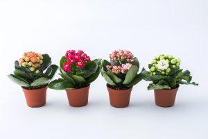Žydinčios kambarinės gėlės Kalankės