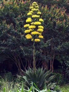 Žydinti agava