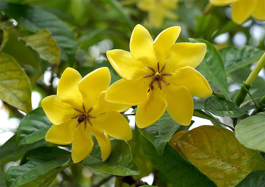 Geltonai žydinti gėlė gardenija