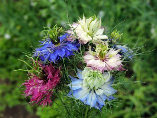 Gėlės nuotrauka. (Pavadinimas: Love in a Mist)