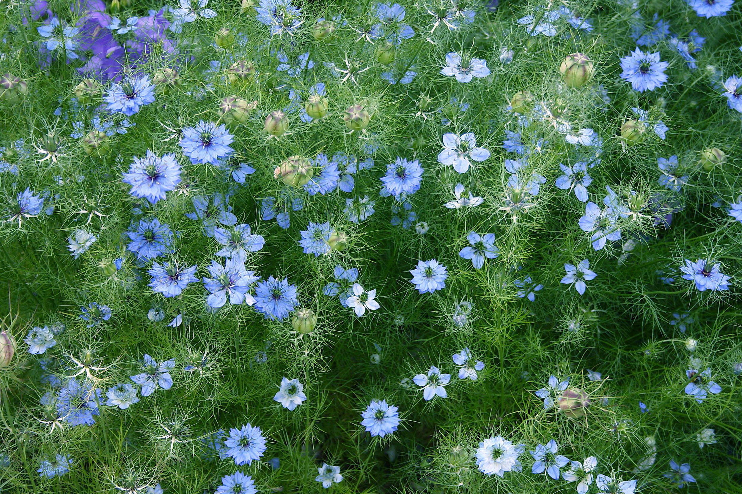 Gėlės Juodgrūdės