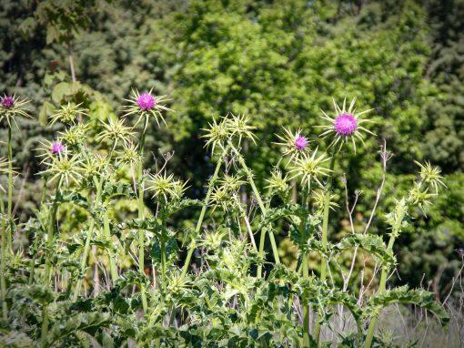 Gėlės nuotrauka. (Pavadinimas: Tikrasis margainis)