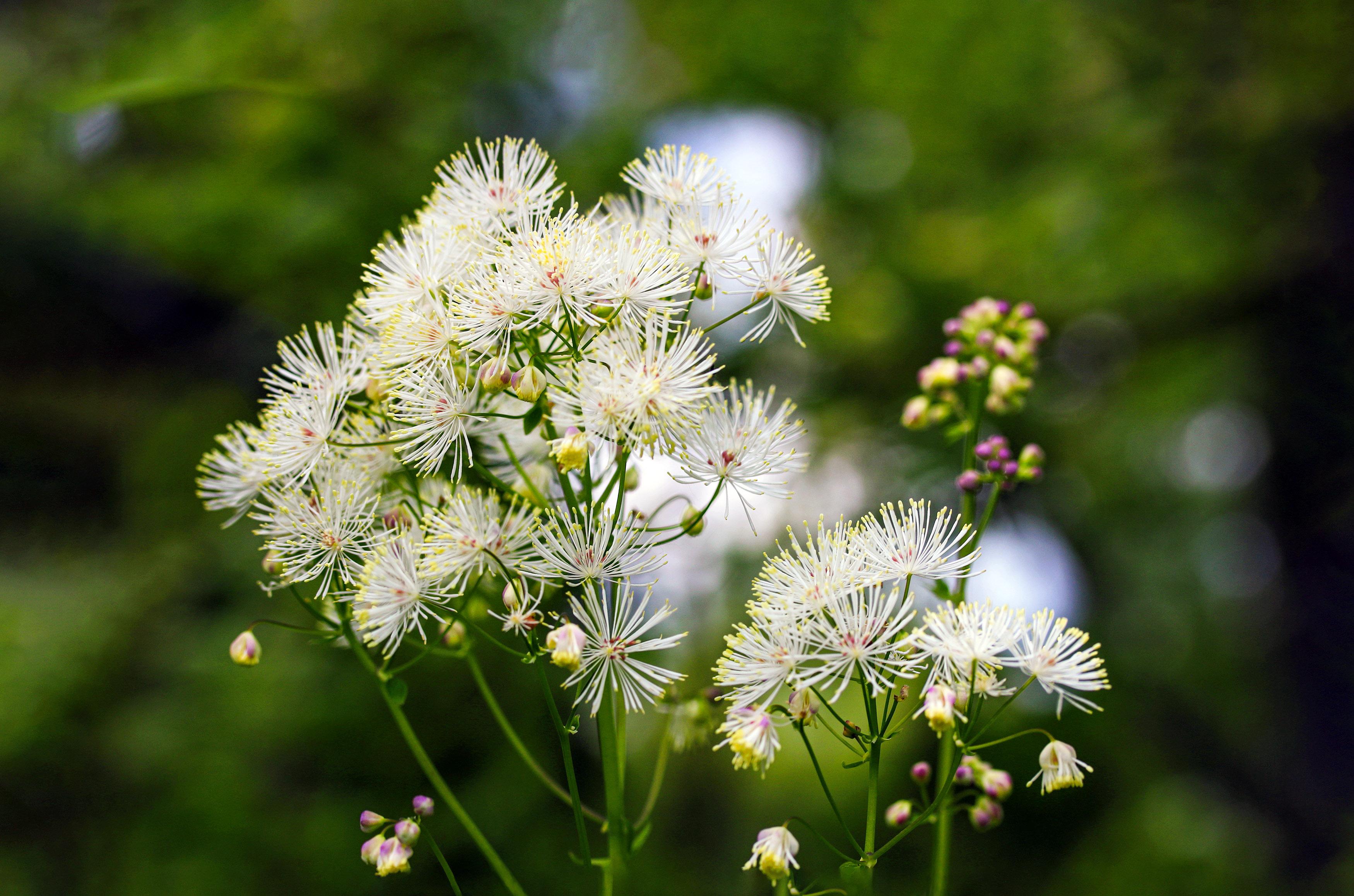 Baltai žydintis augalas vingiris