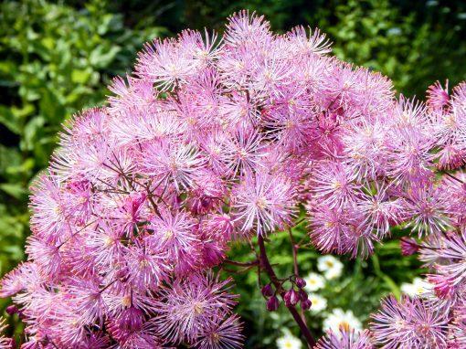 Gėlės nuotrauka. (Pavadinimas: Vingiris)