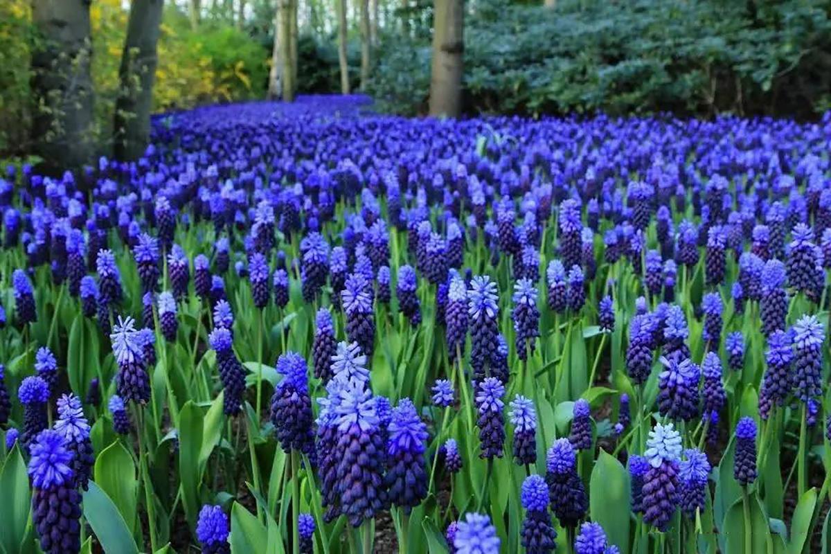 Gėlė žydrė Olandijos gėlynuose (Amsterdame)