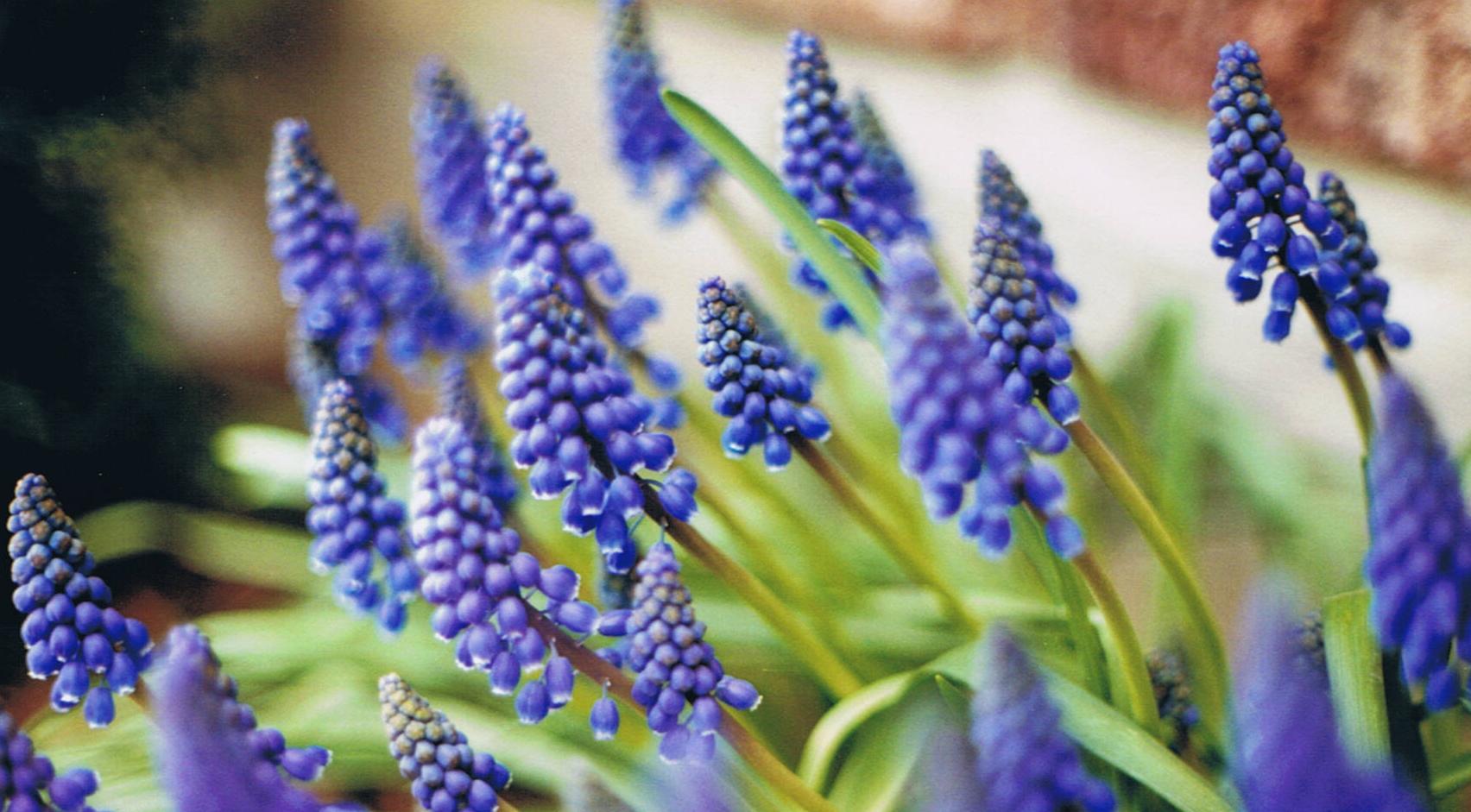 Laukinė gėlė žydrė