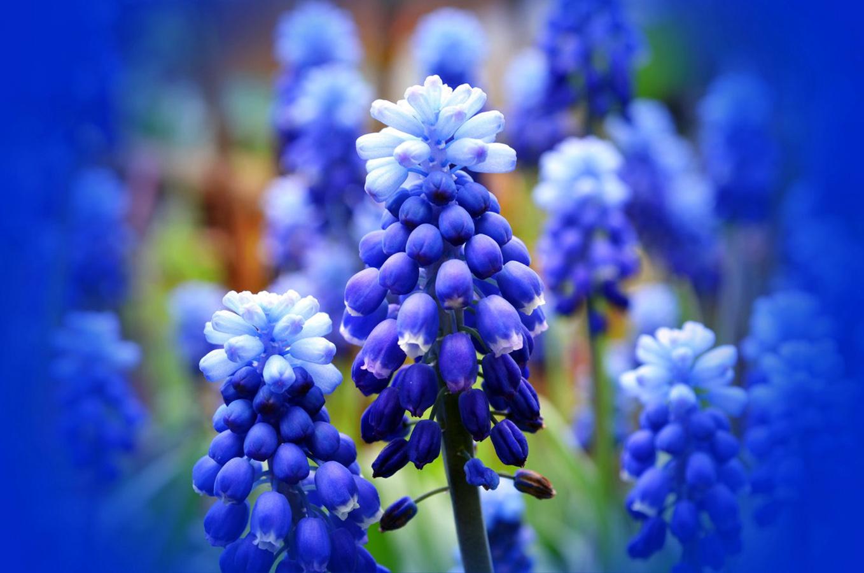 Mėlyna gėlė žydrė
