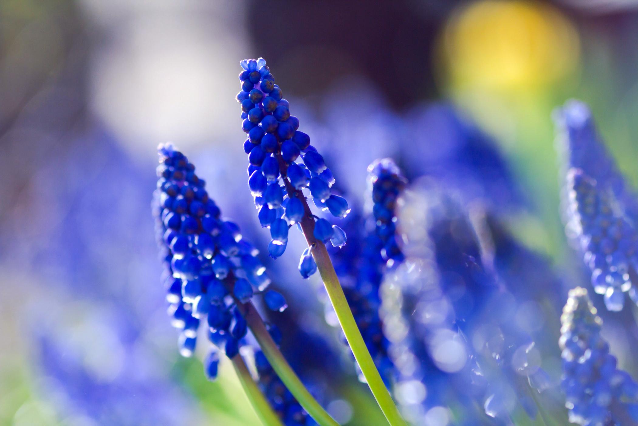 Mėlynai žydinti gėlė žydrė