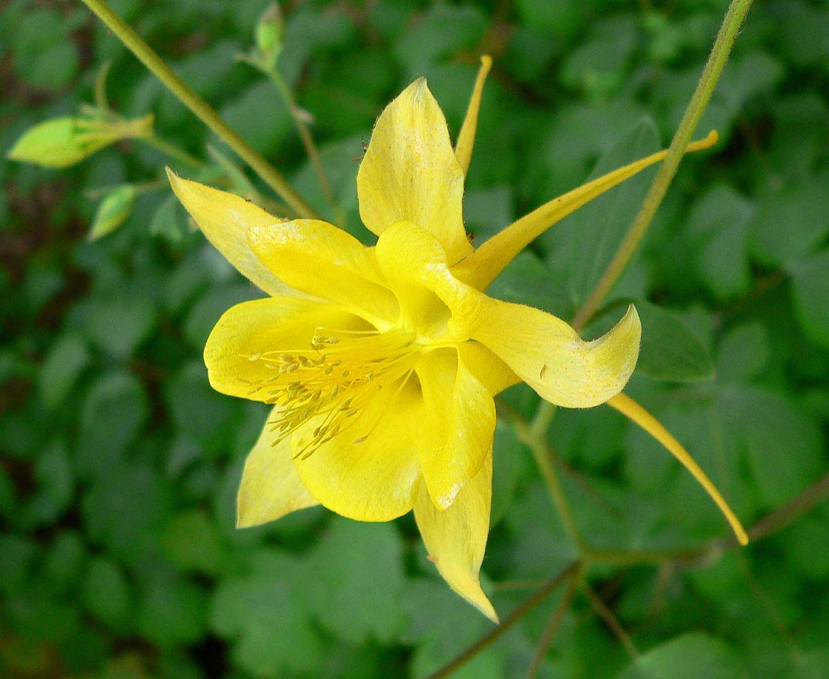 Geltonai žydintis Sinavadas