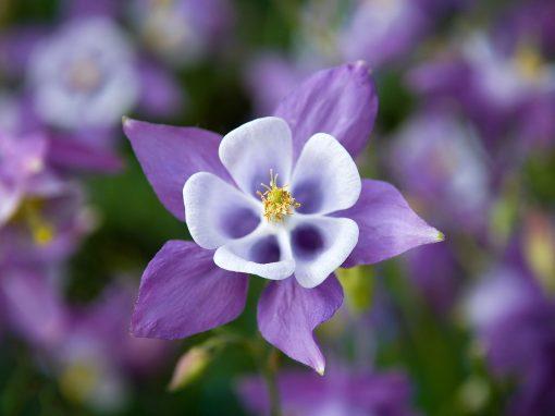 Gėlės nuotrauka. (Pavadinimas: Sinavadas)